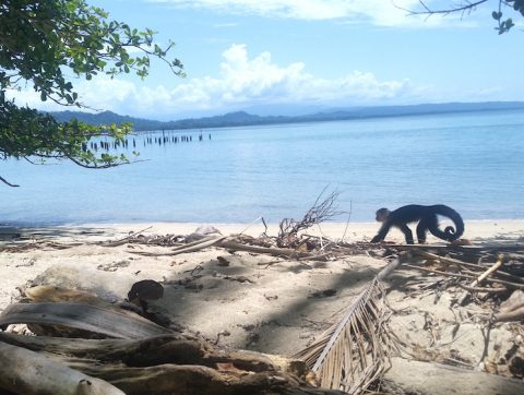 white faced monkey on the beach