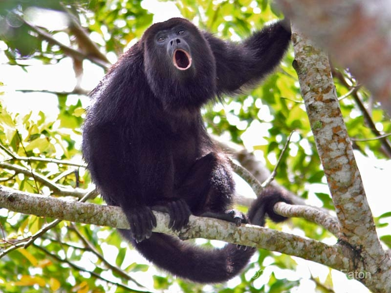 Howler monkey adventure story in Costa Rica