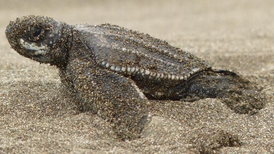Baby Turtle in Costa RIca_Tico Lingo