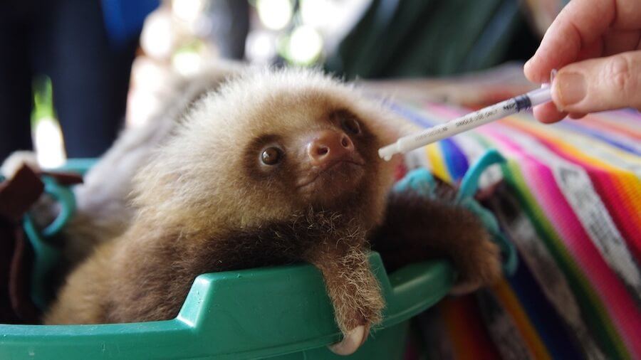 Volunteer with Sloths in Costa RIca with Tico Lingo