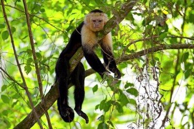 Manuel Antonio Tour Monkey_Costa Rica_Tico Lingo Spanish School